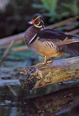 Wood Duck. Male.