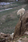Mountain Goats. Behavior. Yearlings playing on rock face.