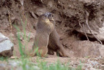 Yellow-bellied Marmot youngsters. Behavior, play wrestling in front of burrow.