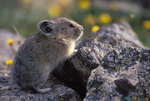 Pika in alpine meadow with wildflowers (alpine avens).