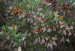 Monarch butterflies on migration. Roosting on Atlantic beach.