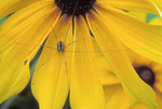 Eastern Daddy-Long-Legs on Brown-eyed Susan (Rudbeckia hirta).