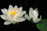 Water lily & bud. Cultivated. Garden pond.