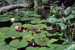 Garden pond. Green frog basking on water lily pad. Pickerelweed