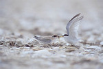 Least tern adult feeding juvenile. Family Laridae. Endangered in NJ & NY. Cape May Migratory Bird Refuge, The Nature Conservancy.