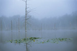 Beaver pond in fog. Yellow Pond Lily