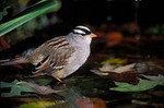 White-crowned Sparrow bathing