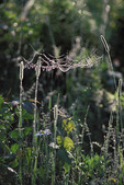 Orbweaver spider web. Horizontal webs are unusual