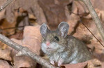 Deer Mouse