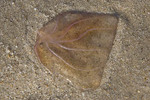 Beached jellyfish,  a Coelenterate