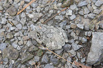 Gray Treefrog camouflaged on gravel in quarry