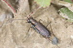 Punctured Tiger Beetle 