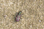 Clay Bank Tiger Beetle