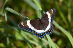 White Admiral Butterfly with curled tongue