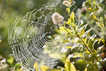 Rainbows in dew on Orb Spider web woven on Meadowsweet plant