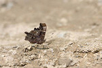 Green Comma Butterfly puddling.