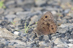 Common Wood Nymph Butterfly puddling in gravel.