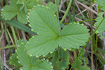 Guttation on wild strawberry leaf