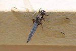 Chalk-fronted Corporal, mature female. Perched on house deck.
