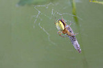Six-spotted Orb Weaver Spider wrapping moth  