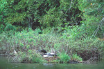 Loon nesting on nest raft. VT Loon Recovery Project