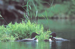 Loon pair with chicks by nest site. One chick peering (head under water), one wing-flapping
