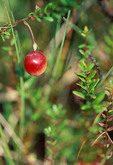 Large Cranberry growing in a fen 