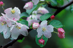 Apple blossoms with raindrops
