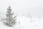 Balsam Fir in snow storm.  Regenerating pasture