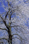 Ash tree after ice storm