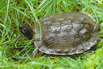 Wood Turtle. Status in NY-Special Concern. Neversink Preserve. Godeffroy, Orange County, NY