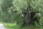 Crack Willow. Vermont champion tree. Plainfield VT