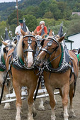 Draft horses nuzzling at Tunbridge World's Fair