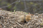 Red Fox Kit Sleeping in leaf pile