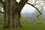 Eastern Cottonwood with swing