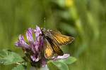 Hobomok Skipper, male, on red clover