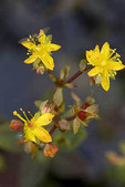Syrphid, Flower or Hover Fly, nectaring on St. Johnswort