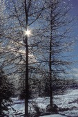 Sun star. Ice coated trees