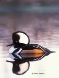 Hooded Merganser, male in courtship display