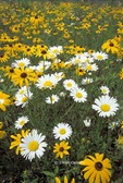 Meadow of Ox-eye Daisies and Black-eyed Susans