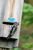 Yellow-bellied Sapsucker drumming on bat box