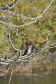 Belted Kingfisher, adult male