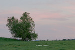 Birch tree at dusk, farm pasture
