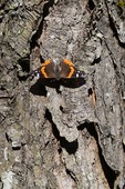 Red Admiral butterfly basking on tree trunk