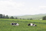 Holstein dairy cows