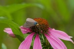 Virginia Ctenuchid moth nectaring on purple coneflower