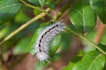 Hickory Tussock Moth caterpillar, Hickory Halisidota caterpillar on Blueberry bush