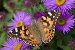 Painted Lady on asters