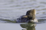 Hooded Merganser, female