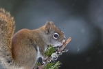 Red Squirrel sniffing squirrel scent